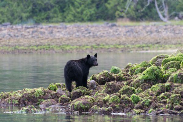 Black Bear Vancouver Island